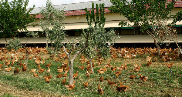 Amadori, arriva il pollo antibiotic free