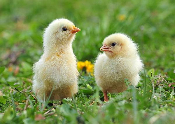 Pollo 100% bio, nuova filiera per Amadori