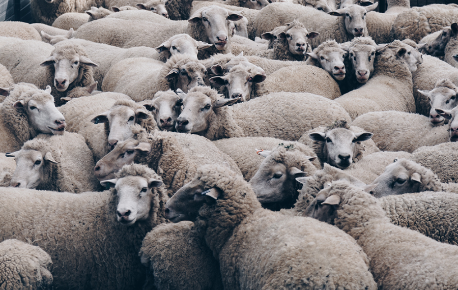 Latte sardo: Conad, VéGé e Coop stanno con i pastori