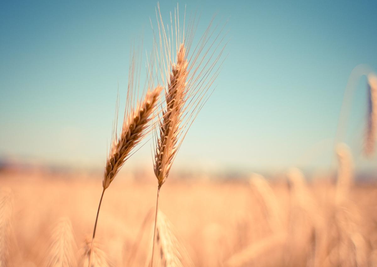 Aumenta il valore del grano duro italiano