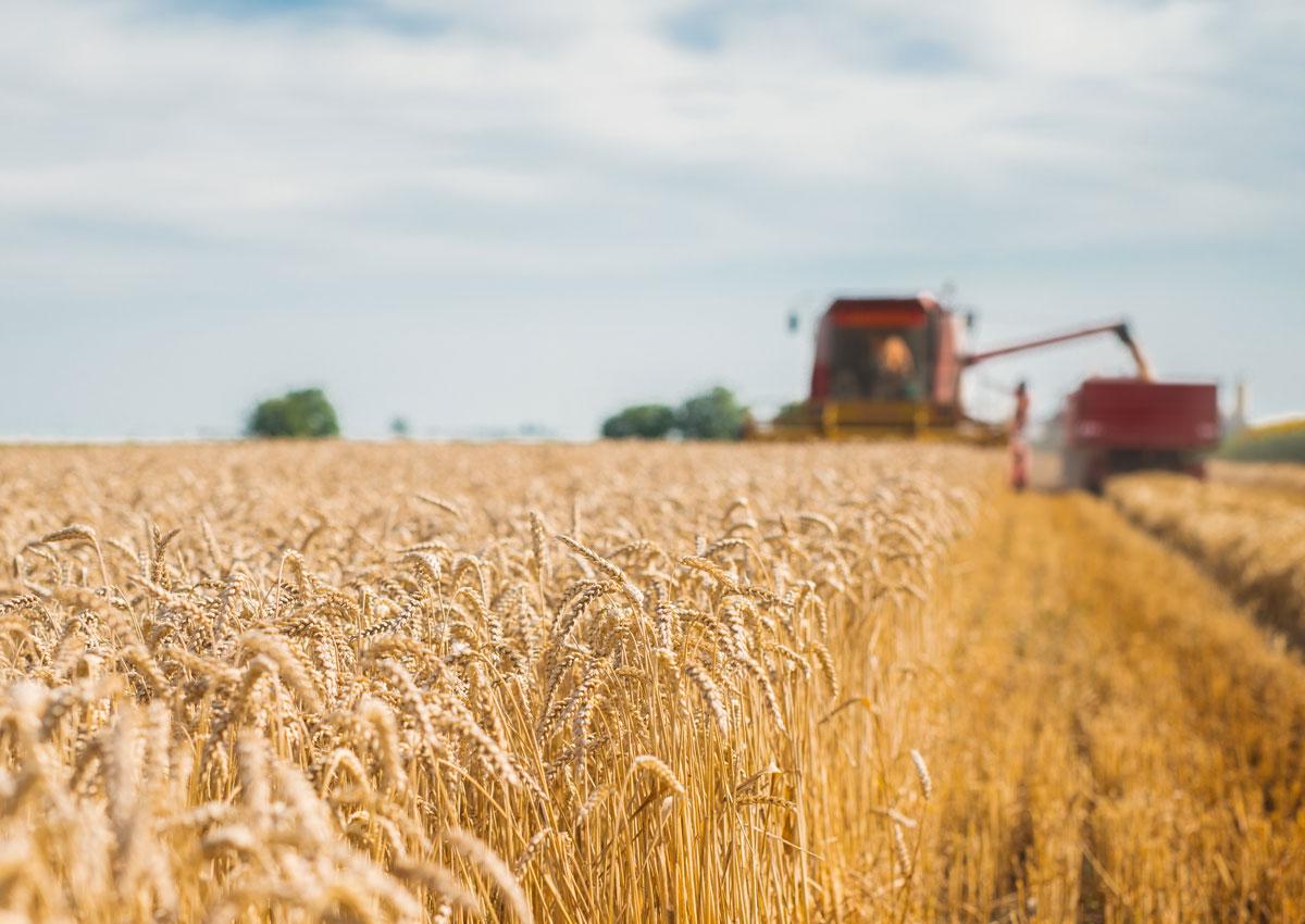 Rivoluzione Barilla, 100% grano duro italiano